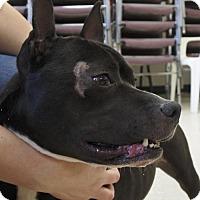 Adopt A Pet :: P'Chino - Potsdam, NY