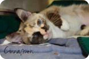 Domestic Shorthair Cat for adoption in Middleburg, Florida - Cinnamon