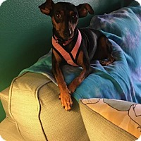Miniature Pinscher Mix Dog for adoption in West Palm Beach, Florida - Cali