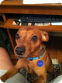 Miniature Pinscher Dog for adoption in Nashville, Tennessee - Bubba