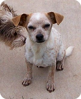 Chihuahua Mix Dog for adoption in San Angelo, Texas - Roxy