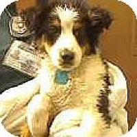 Adopt A Pet :: Clarence SUPER CUTE1 - Antioch, IL
