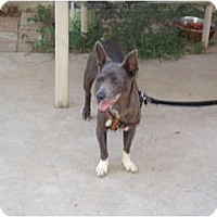 Adopt A Pet :: Grey - spring valley, CA