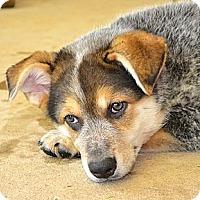 Adopt A Pet :: *Conrad - PENDING - Westport, CT