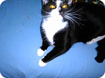 Domestic Shorthair Cat for adoption in Ferndale, Michigan - Sylvester