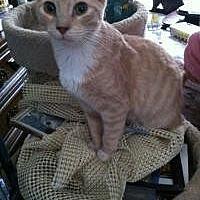 Domestic Shorthair Kitten for adoption in Old Bridge, New Jersey - Cream