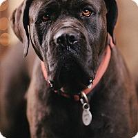 Adopt A Pet :: Guzzi - Portland, OR