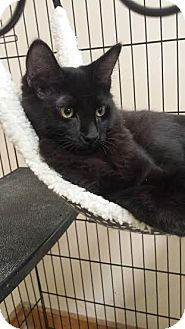 Domestic Mediumhair Kitten for adoption in Cashiers, North Carolina - Mikey