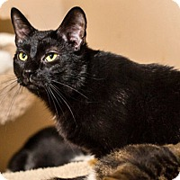 Bombay Cat for adoption in Brooklyn, New York - Hit the Jackpot with Lucky Lotto