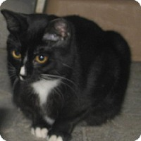Domestic Shorthair Cat for adoption in Coos Bay, Oregon - Scarlett