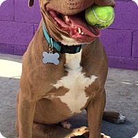 Adopt A Pet :: TANK (Courtesy Post) - LOS ANGELES, CA