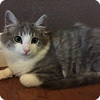 Adopt A Pet :: WHISKERS - Rancho Cucamonga, CA