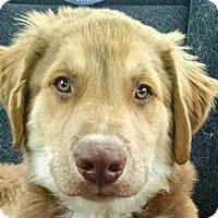 Adopt A Pet :: Baby Buckie - Oakley, CA
