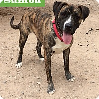 Adopt A Pet :: Samba - Albuquerque, NM