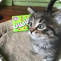 Adopt A Pet :: Jujube - Chicago, IL
