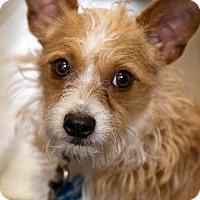 Adopt A Pet :: Lacie - Arlington, VA