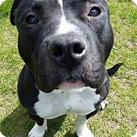 Adopt A Pet :: Gannicus - Troy, MI