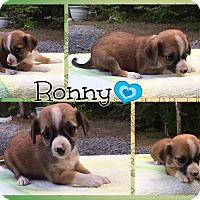 Adopt A Pet :: Ronny - Allentown, PA