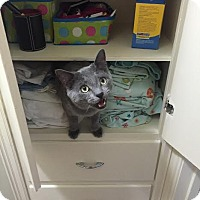 Russian Blue Cat for adoption in St. Louis, Missouri - Frank