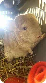 Chinchilla for adoption in Patchogue, New York - India