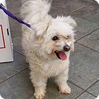 Adopt A Pet :: Cricket - Hillside, IL
