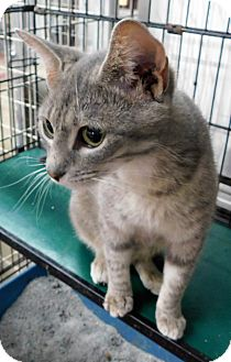 Domestic Shorthair Cat for adoption in Montgomery City, Missouri - Cassidy