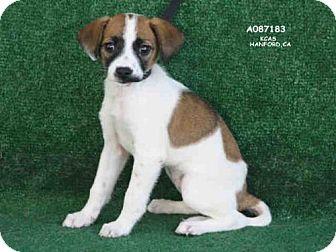 Terrier (Unknown Type, Medium) Puppy for adoption in Hanford, California - A087183
