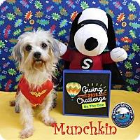 Adopt A Pet :: Hold - Munchkin - Arcadia, FL