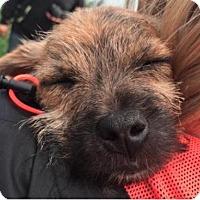 Adopt A Pet :: Drumstick - Winnipeg, MB