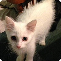 Adopt A Pet :: Snowflake - Aurora, CO