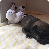 Labrador Retriever/Beagle Mix Puppy for adoption in Gallatin, Tennessee - Spice
