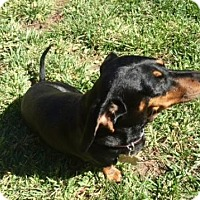 Dachshund Dog for adoption in Lancaster, California - Lacy