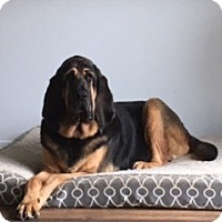 Bloodhound Mix Dog for adoption in Bellingham, Washington - Scout
