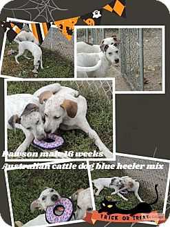 Labrador Retriever/Hound (Unknown Type) Mix Puppy for adoption in Ringwood, New Jersey - Dalton
