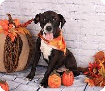 Border Collie/Labrador Retriever Mix Puppy for adoption in East Dover, Vermont - Suellen - PENDING