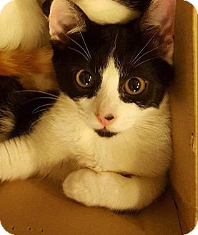Domestic Shorthair Kitten for adoption in Eureka, California - Tips
