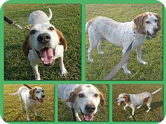 English (Redtick) Coonhound Dog for adoption in Sumter, South Carolina - HANK