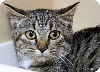 Domestic Shorthair Cat for adoption in Lincolnton, North Carolina - Suzie