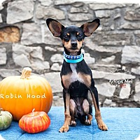 Adopt A Pet :: Robin Hood - Shawnee Mission, KS