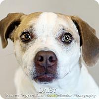 Adopt A Pet :: Daisy - Appleton, WI