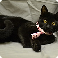 Domestic Shorthair Cat for adoption in St. Cloud, Florida - Little Boo
