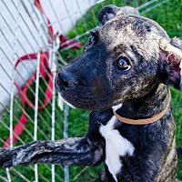 Adopt A Pet :: Garnet - Phoenix, AZ