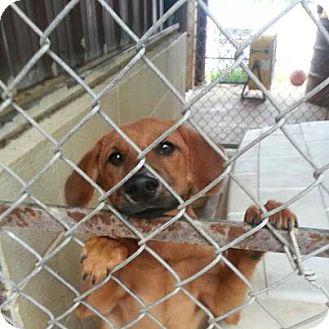 Dachshund/Labrador Retriever Mix Puppy for adoption in ST LOUIS, Missouri - Bones