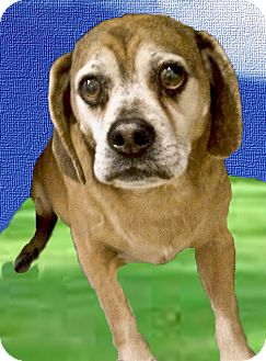 Pug/Beagle Mix Dog for adoption in Sacramento, California - Oden URGENT