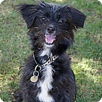 Adopt A Pet :: Nikki - Adores Children & Loves Dogs! - West Hollywood, CA