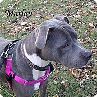 Adopt A Pet :: Marley - Chicago, IL