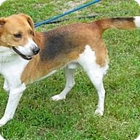 Treeing Walker Coonhound Mix Dog for adoption in Tahlequah, Oklahoma - John Deere