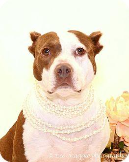 Pit Bull Terrier Mix Dog for adoption in Farmington Hills, Michigan - Sunshine