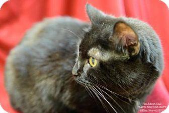 Domestic Shorthair Cat for adoption in Pekin, Illinois - Valerie