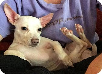 Italian Greyhound/Chihuahua Mix Dog for adoption in Bradenton, Florida - Lady Bug
